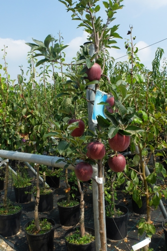 Piante da frutto in vaso vivai piola dario carmagnola for Piante da frutto vaso